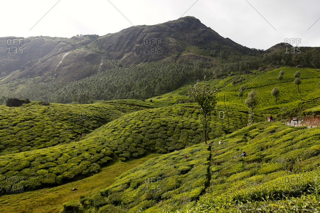 Kerala, India - December 27, 2015: View of the tea plantations in Munnar, Kerala, India.