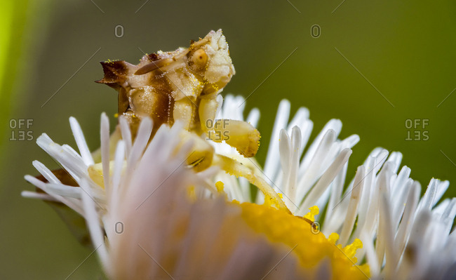 An ambush bug sits on a daisy flower the size of a small button, waiting to attack prey that comes to pollinate the flower.