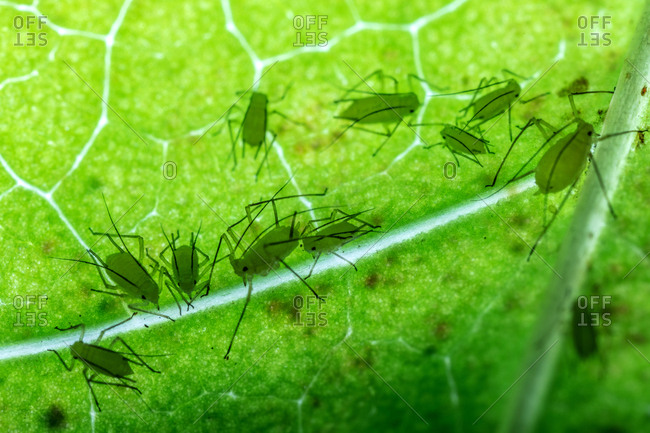 A small group of aphids backlit by a flashlight reveals them sucking the fluids from a poplar leaf.