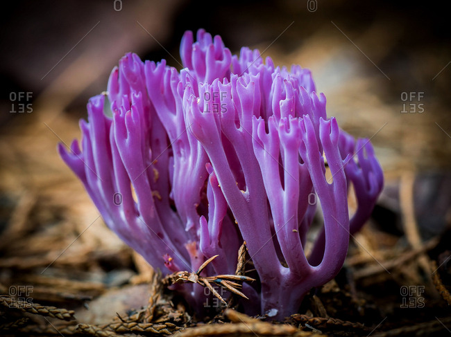 A magenta coral fungus emerges from beneath the soil in late summer.