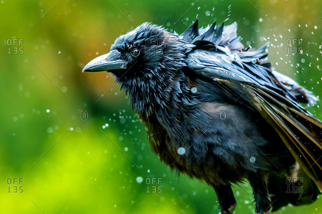 A raven shakes off its rain-soaked feathers after a heavy storm.
