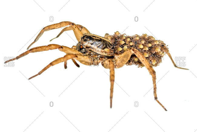 A close up of a mother wolf spider carrying her babies, against a white background.
