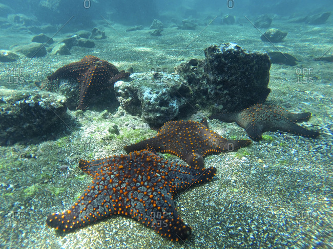 Underwater view of knobby starfish, Pentaceraster Cuming, on seabed.