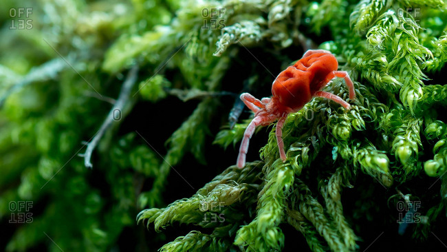 A red velvet mite exploring moss on a damp forest floor.