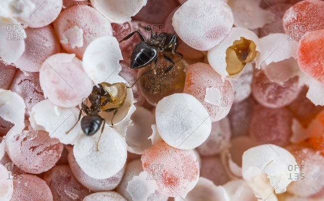 Ants raiding a clutch of invasive apple snail eggs.