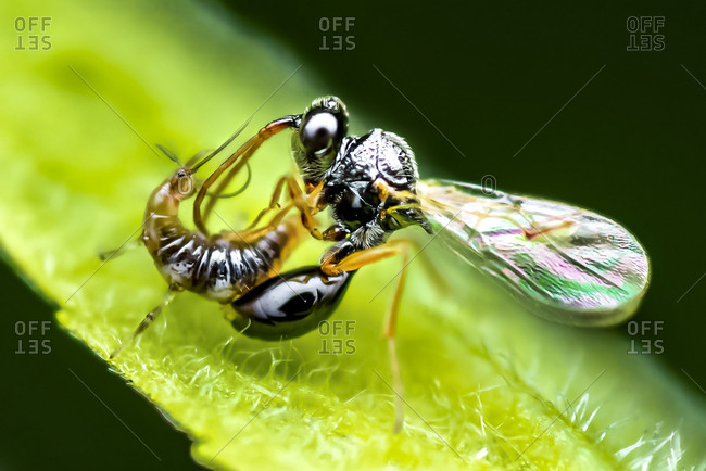 A female parasitic wasp injects her prey (a lacewing larva) with her eggs using her ovipositor.