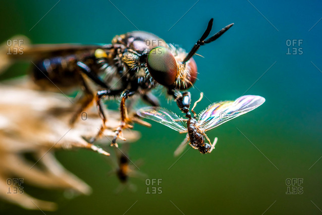 A robber fly with its catch, a male ant.