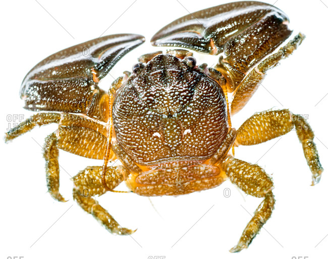A close up field studio photograph of a crab.