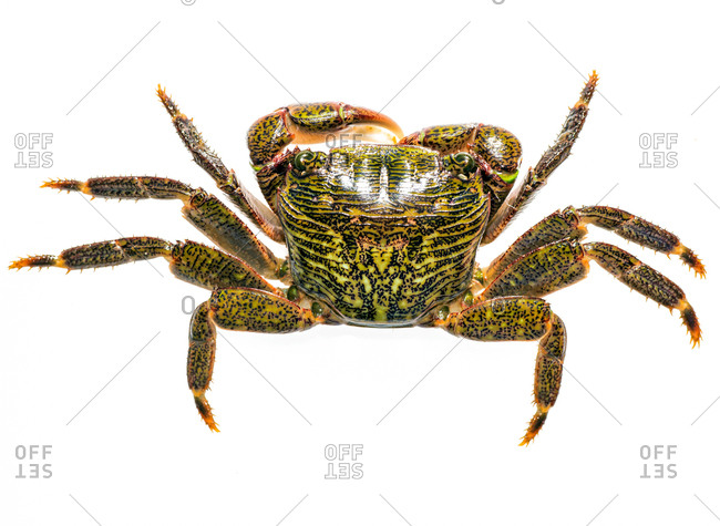 A close up field studio photograph of a striped shore crab.