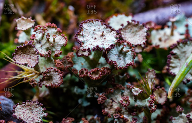 A Cladonia lichen shows the intricate detail of each fruiting body.
