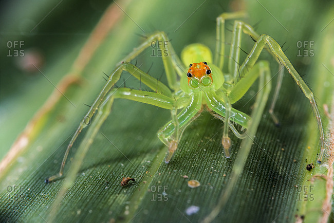 A male adult magnolia green jumping spider explores the underside of a palm frond in a forest.