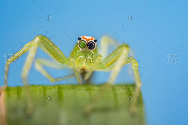 A magnolia green jumping spider cleans its leg while on a leaf.
