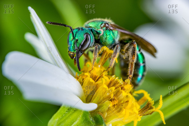 A bright green metallic sweat bee pollinates a hairy beggarticks plant.