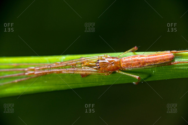 A long-jawed orb weaver spider rests on a blade of grass in a Florida meadow.