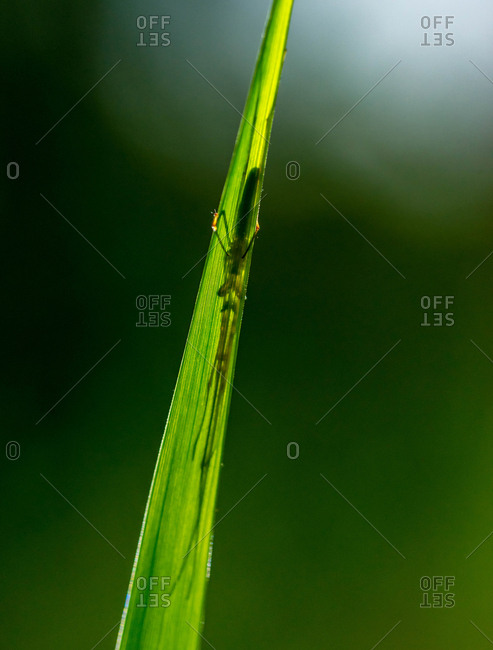 A long-jawed orb weaver spider waits behind a blade of grass in a Florida meadow.