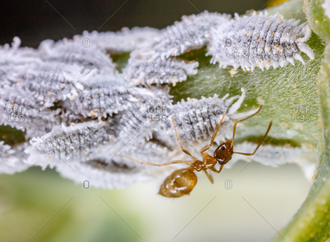 An ant protects a colony of scale insects on the stem of a small flower like a shepherd with sheep.