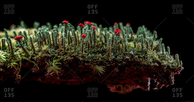 A close up studio shot of a group of Cladonia lichens growing on a piece of loose tree bark in the forest.