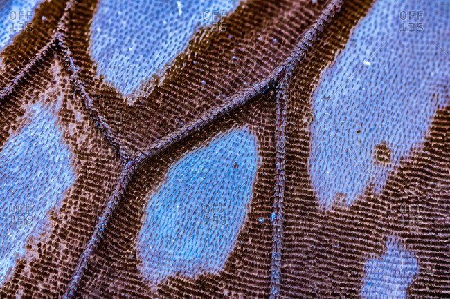 A close up of the wing of a blue butterfly specimen from an old collection.