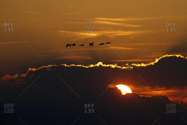 Autumn migration of common cranes in Hortobagy National Park.