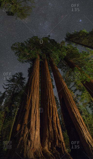 Night view of giant sequoia trees in the Kings Canyon National Park.