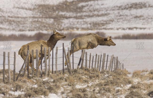 An Elk, Cervus canadensis, easily vaults a range fence as a second elk prepares for the leap.
