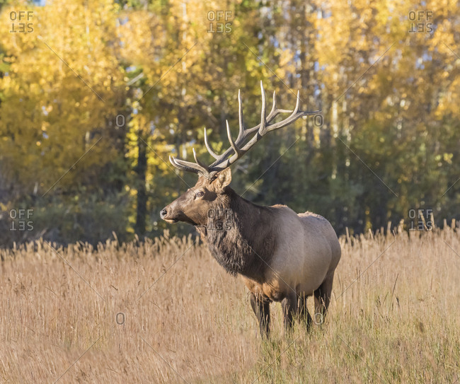 A Bull elk, Cervus canadensis, watches over his herd of elk cows for any threats from other bulls.