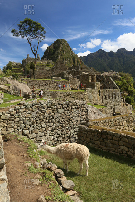 Peru - March 12, 2015: A Llama, Lama Glama, grazing in Machu Picchu ruins with Huayna Picchu mountain in the background.