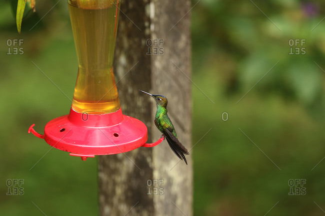 A Violet-fronted Brilliant, Heliodoxa leadbeateri, on a bird feeder.