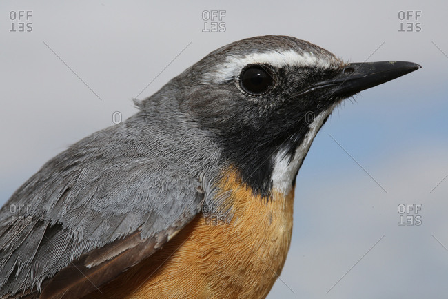 A White-throated Robin, Irania Gutturalis, in Aras River Wetlands Bird Paradise, Turkey.