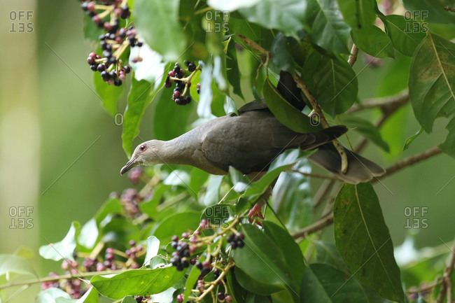 A Ring-tailed Pigeon, Patagioenas Caribaea, perching on branch of tree.