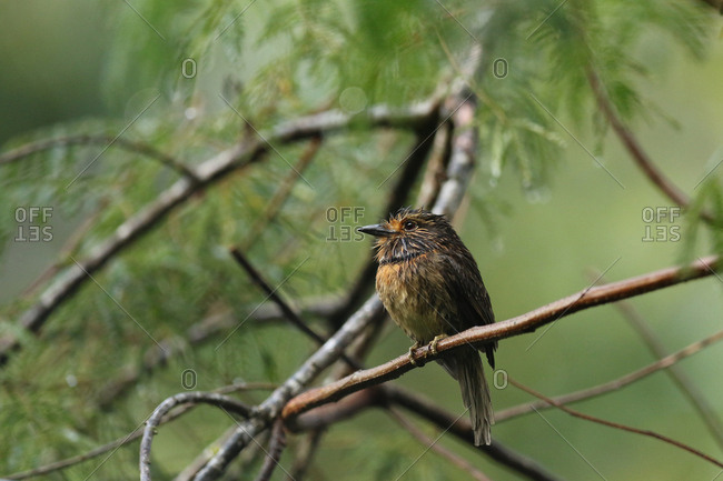 A Greater Crescent-chested Puffbird, Malacoptila Striata, perching on branch of tree.