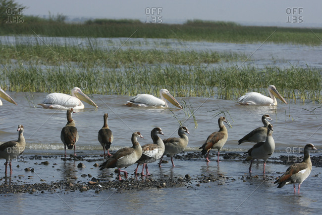 Egyptian geese, Alopochen aegyptiaca, and Great white pelicans, Pelecanus onocrotalus, at Lake Ziway.