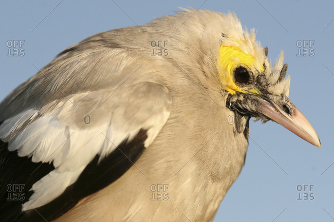 A young male wattled starling, Creatophora cinerea, in Awassa, Ethiopia.