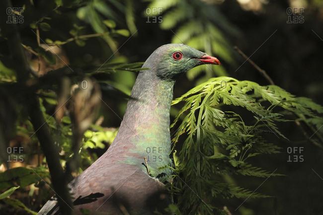 A New Zealand pigeon, Hemiphaga novaeseelandiae, in Rakiura National Park, New Zealand.