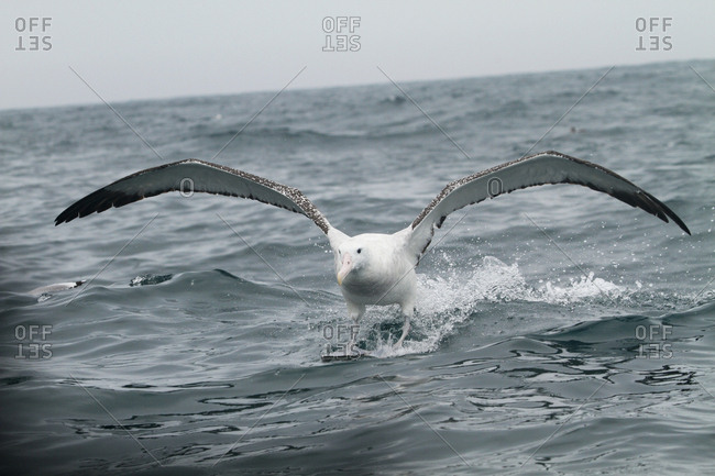 The northern royal albatross, Diomedea sanfordi, landing on the sea off Kaikoura Peninsula.