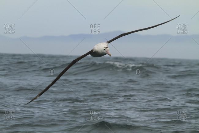 A young royal Albatross, Diomedea, landing on the sea off Kaikoura Peninsula.