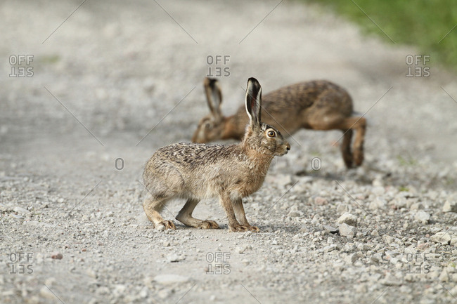 European hares, Lepus europaeus, crossing a dirt road in Aras River Wetlands Bird Paradise.