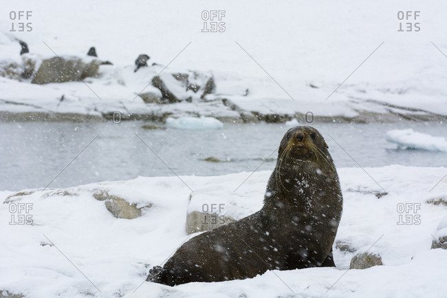 An Antarctic fur seal, Arctocephalus gazella, under a heavy snowfall, Portal Point, Antarctica.