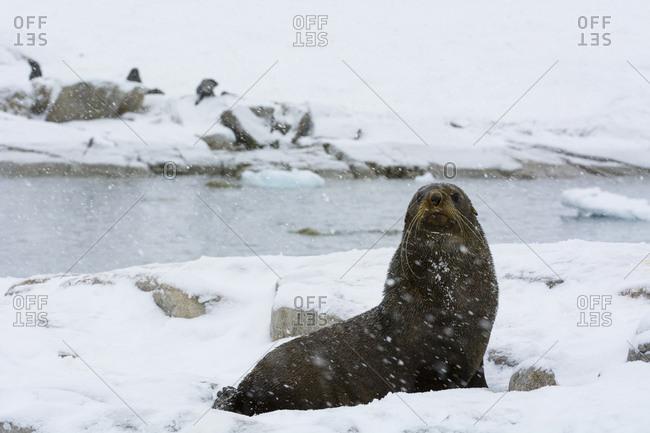 An Antarctic fur seal, Arctocephalus gazella, under a heavy snowfall, Portal Point, Antarctica.