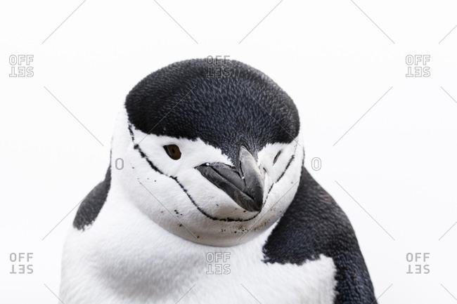 Close up portrait of a chinstrap penguin, Pygoscelis antarcticus, Half Moon Island, Antarctica.