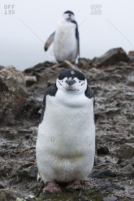 Portrait of a chinstrap penguin, Pygoscelis antarcticus, Half Moon Island, Antarctica.