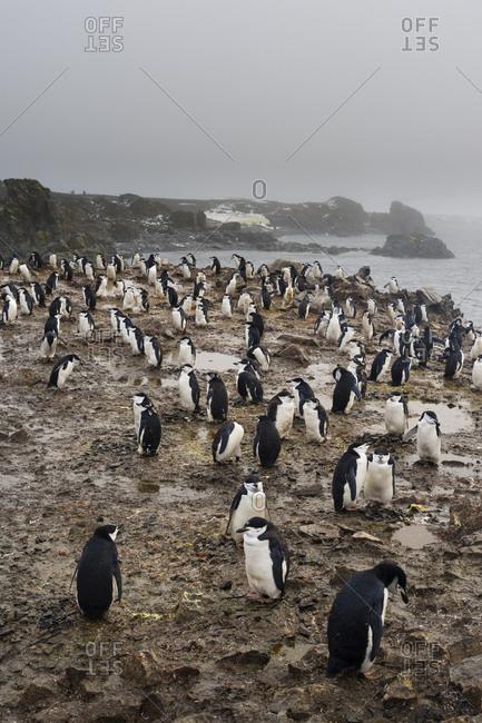 A chinstrap penguin colony, Pygoscelis antarcticus, Half Moon Island, Antarctica.