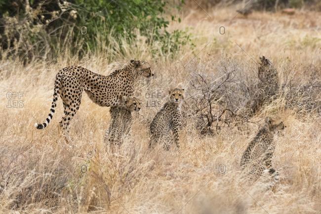 A cheetah, Acinonyx jubatus, with its cubs, Samburu National Reserve, Kenya.