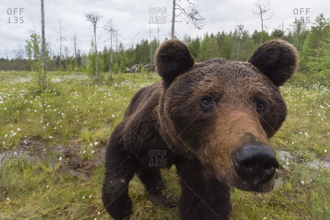 A curious European brown bear, Ursus arctos, investigating a  camera trap, Kuhmo, Finland.