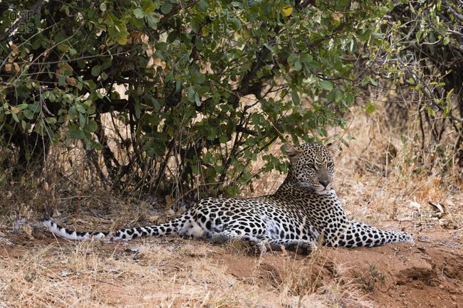 A leopard, Panthera pardus, resting in the shade, Samburu National Reserve, Kenya.