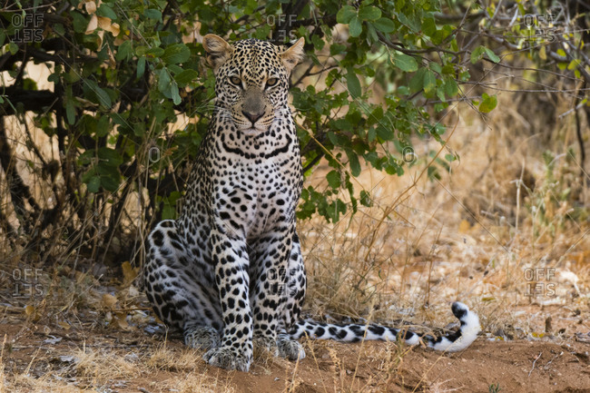 A leopard, Panthera pardus, resting in the shade, Samburu National Reserve, Kenya.