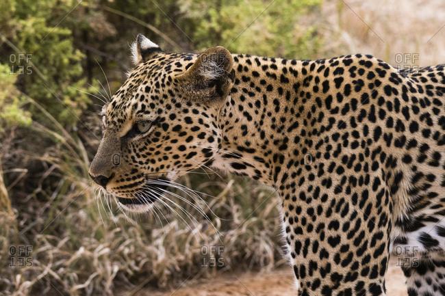 Portrait of a leopard, Panthera pardus, Samburu National Reserve, Kenya.