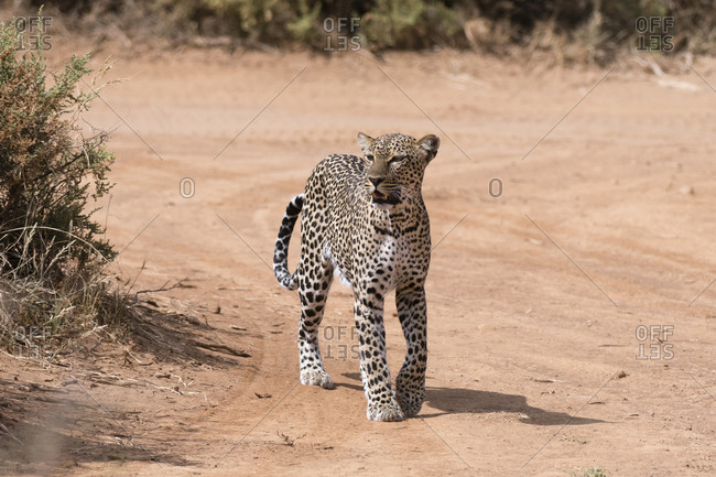 A leopard, Panthera pardus, walks along a road in Samburu National Reserve, Kenya.