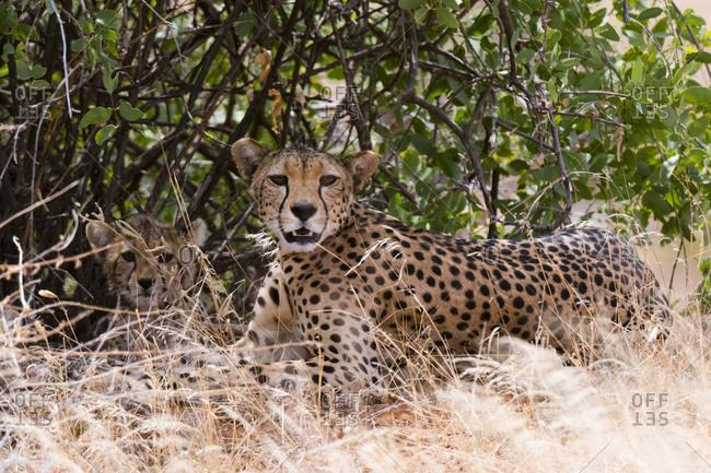 A cheetah, Acinonyx jubatus, and her cub, Samburu National Reserve, Kenya.