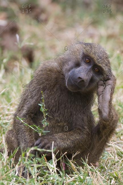 Portrait of an olive baboon, Papio anubis, Kalama Conservancy, Samburu, Kenya.